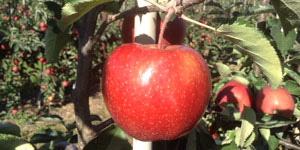Adrian Scripps Red Prince Apple