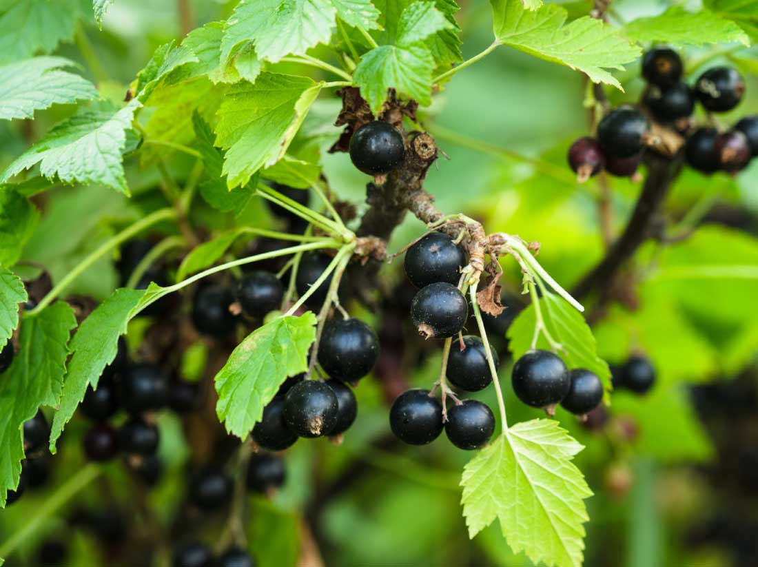 Adrian Scripps ltd Black currant bush, close up the berries